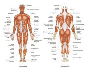 anatomia-muscolare-corpo-umano